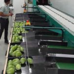 electronic grading line in Ripening Chamber project