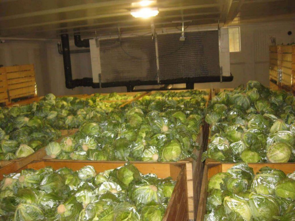 cabbage storage in Controlled Atmosphere cold Storage